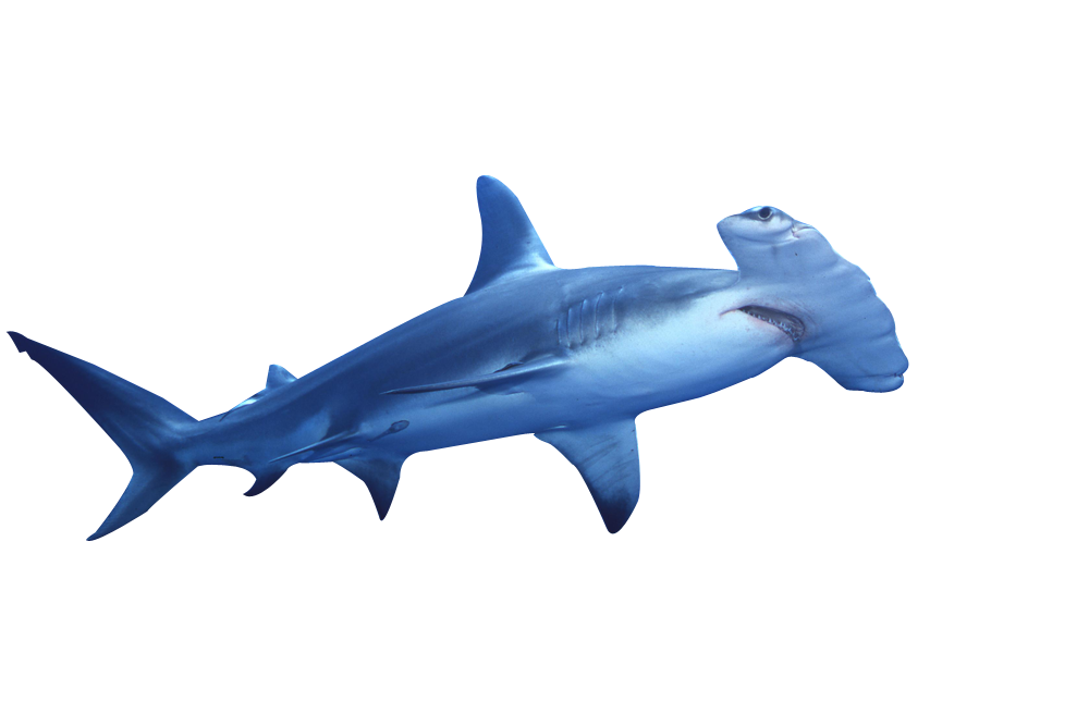 Drawing shark hammerhead. Png free icons and