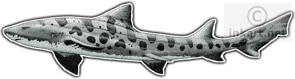 Drawing shark leopard. Wildlife art sharks and