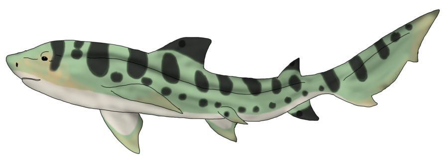 Drawing shark leopard. Custom by cf adopts