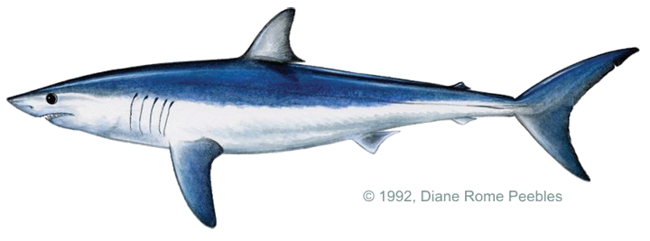 Vector sharks mako shark. The short fin by