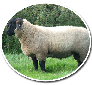 Drawing sheep suffolk. Breeds of and goat