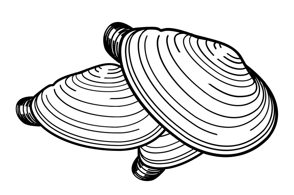 Drawing shell clam. Gulf of maine inc
