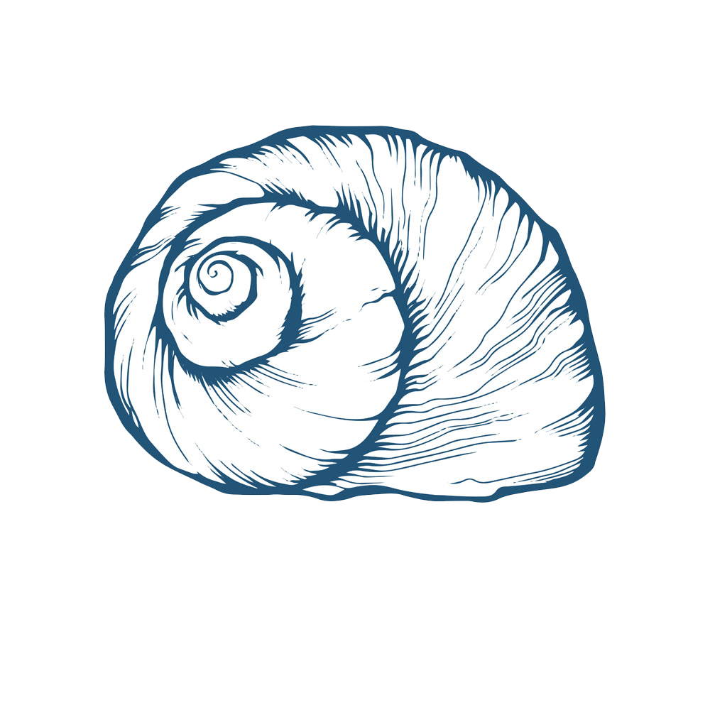 Drawing spiral head. Seashell oyster conch transprent