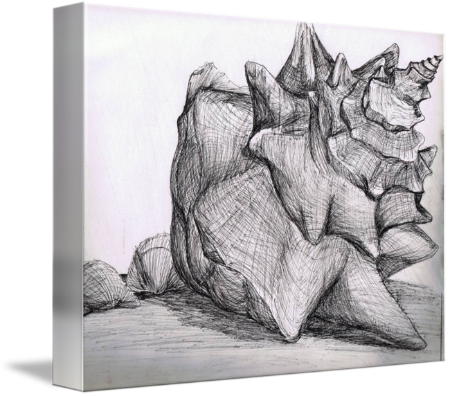 Drawing shell still life. Conch and followers by