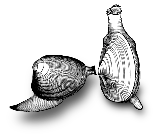 Drawing shell clam. Evo ed toxin resistance