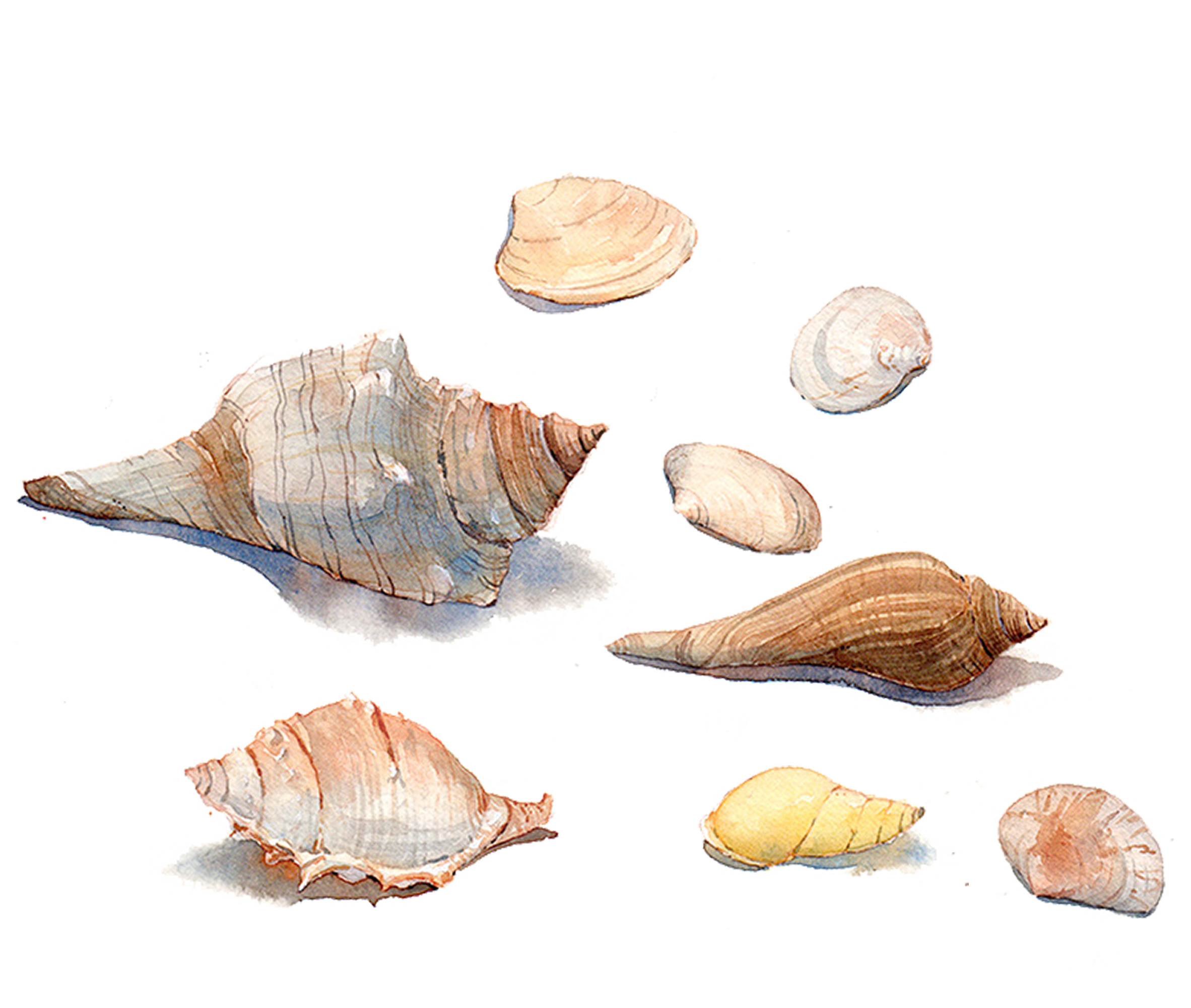 Drawing shells mermaid. Watercolor search result cliparts