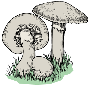 Drawing shrooms color. Clipart mushrooms colour small