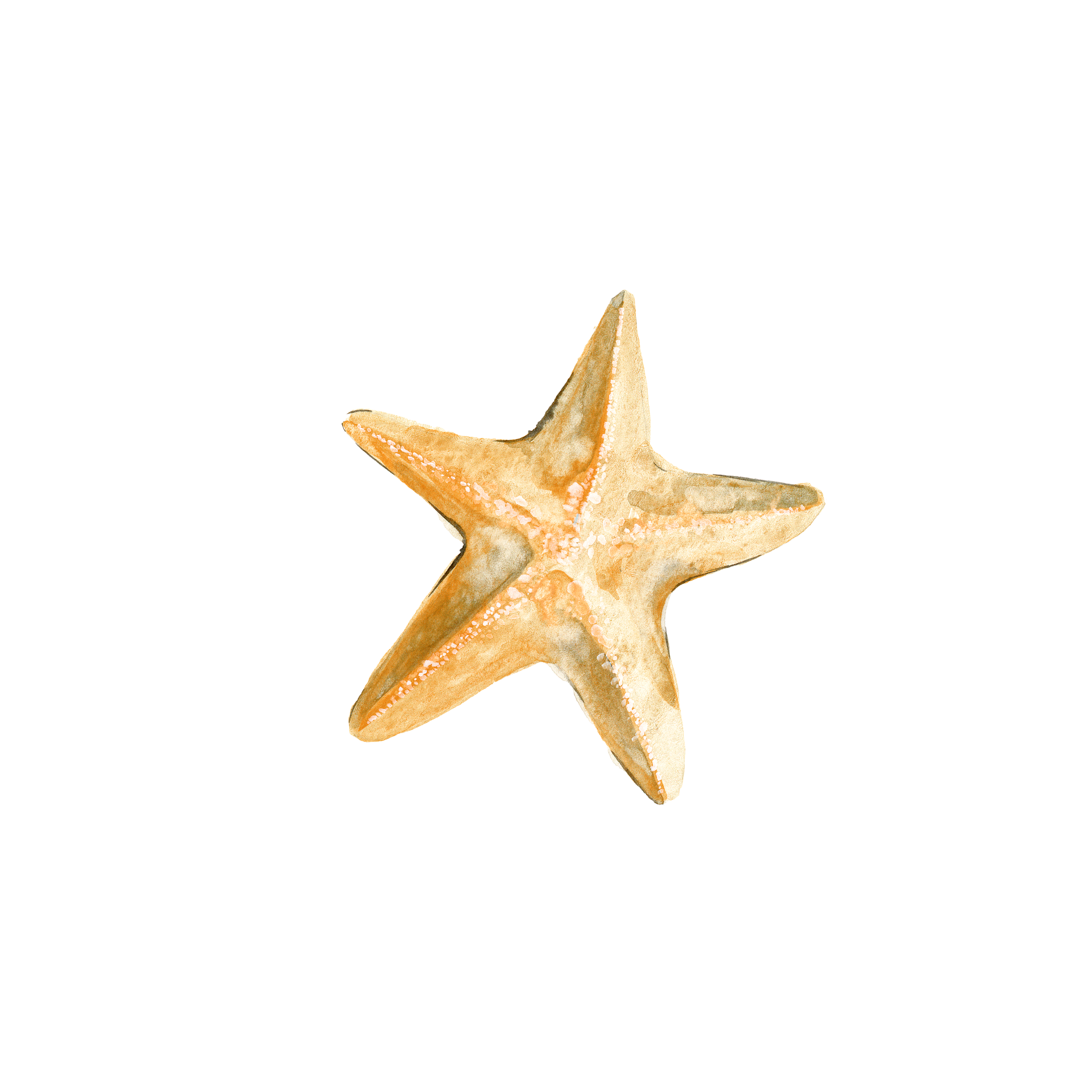 Drawing starfish. Download transprent png free