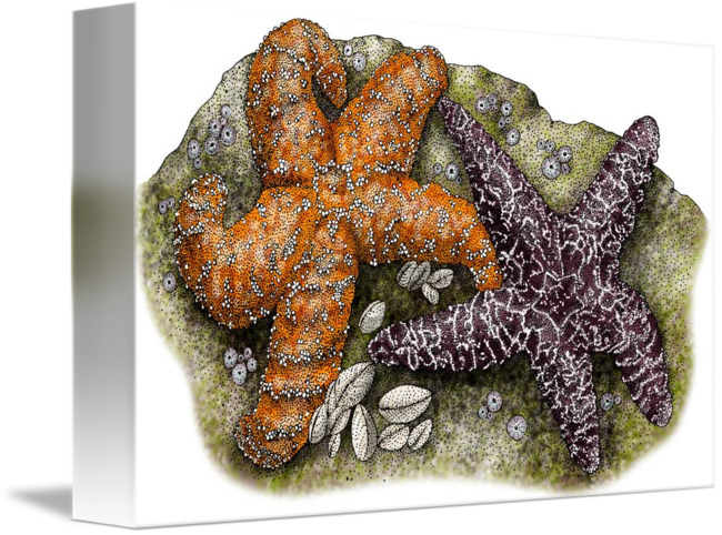 Ochre sea stars or. Drawing starfish ink jpg library