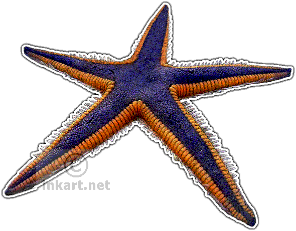 Wildlife art freshwater and. Drawing starfish ink clip freeuse stock
