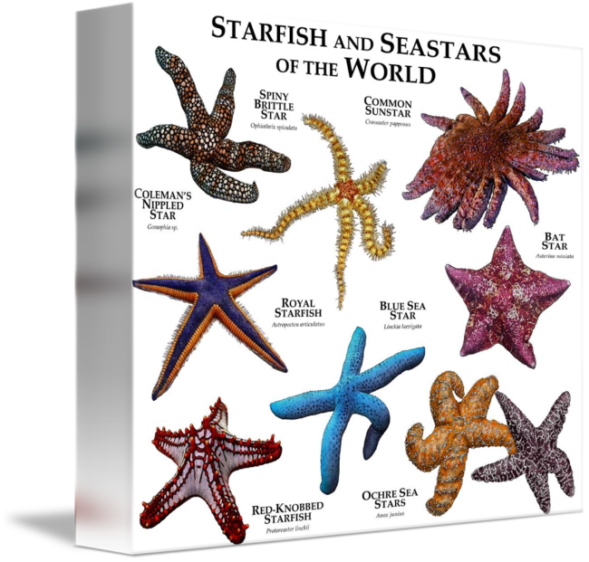 Drawing starfish ink. And seastars of the