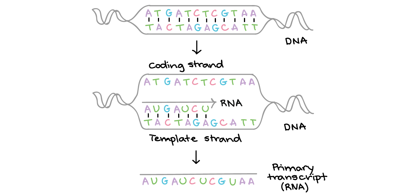 Drawing storyboard transcription translation. Intro to gene expression
