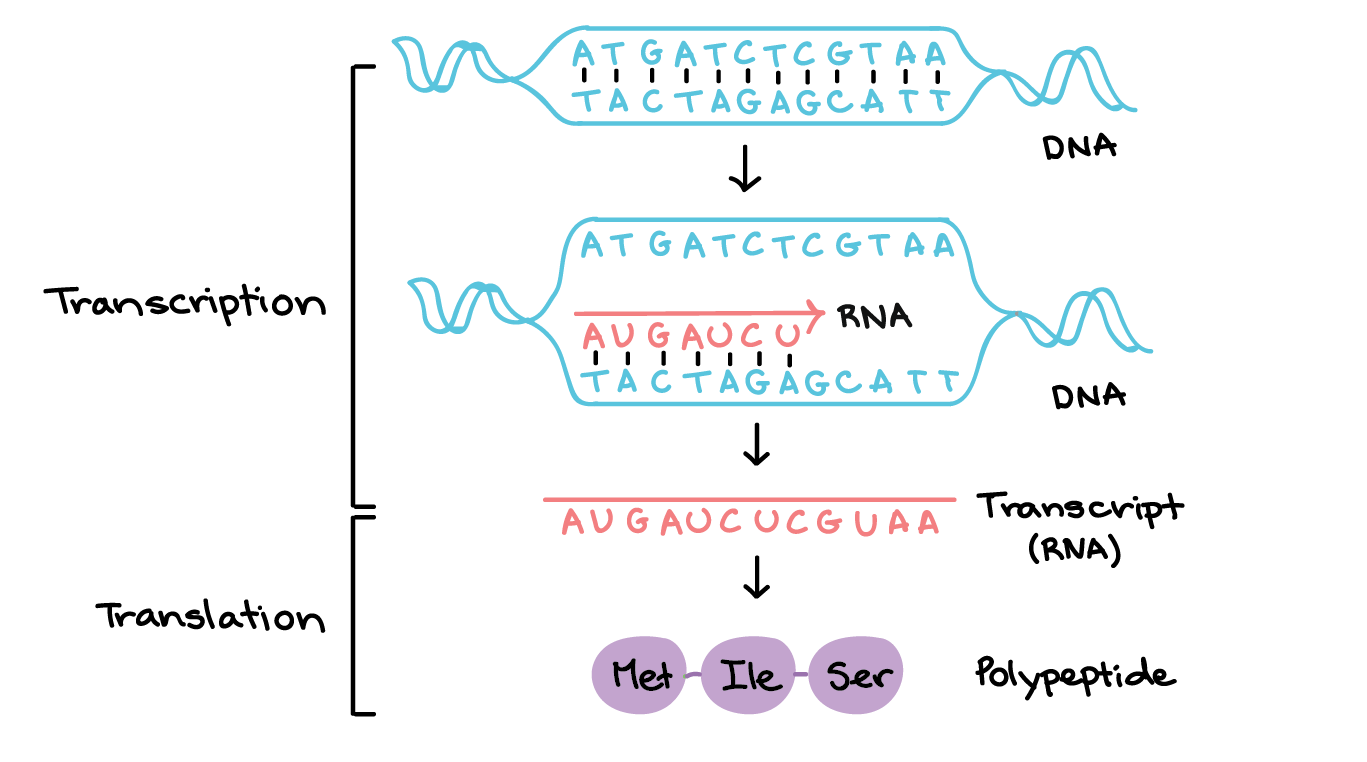 Drawing storyboard transcription translation. An overview of dna