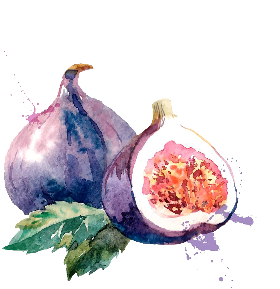 Drawing it watercolor. Common fig painting illustration