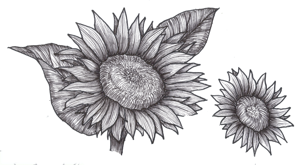 Drawing sunflowers ink. Flower drawings clip art