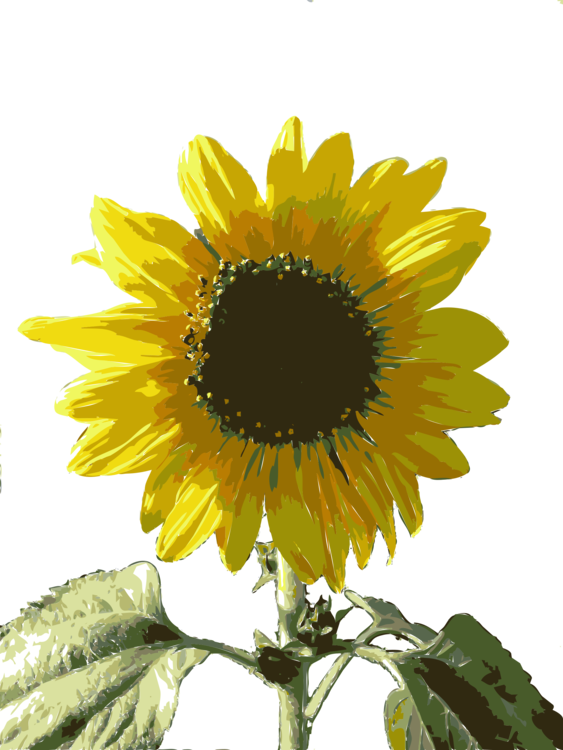 Drawing sunflowers black grey. Common sunflower computer icons