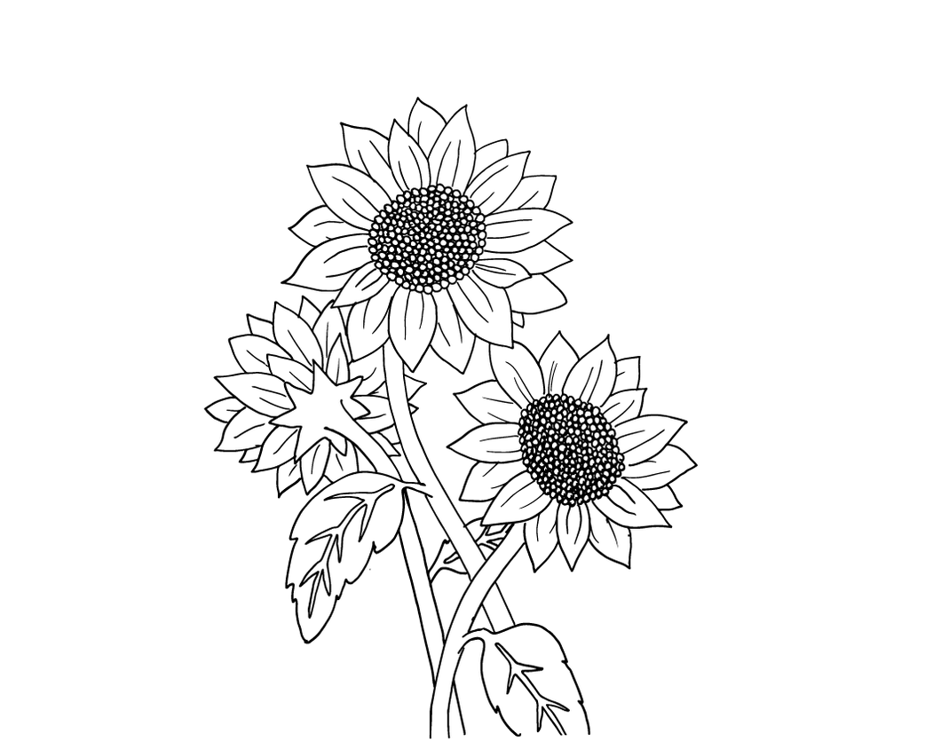 Drawing sunflowers basic. Easy pictures of to