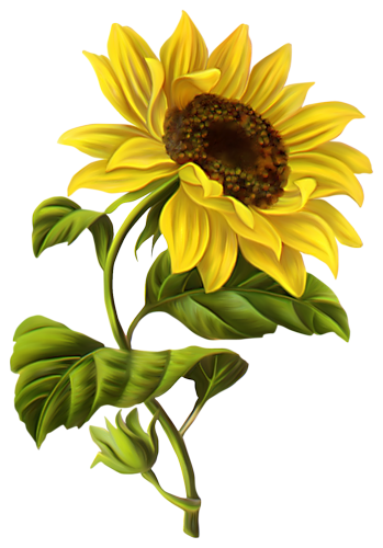 Sunflower clipart watercolor. Art flowers drawing png