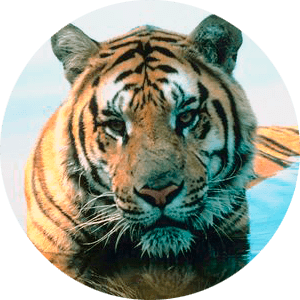 Tigers drawing hard. Tiger facts and information