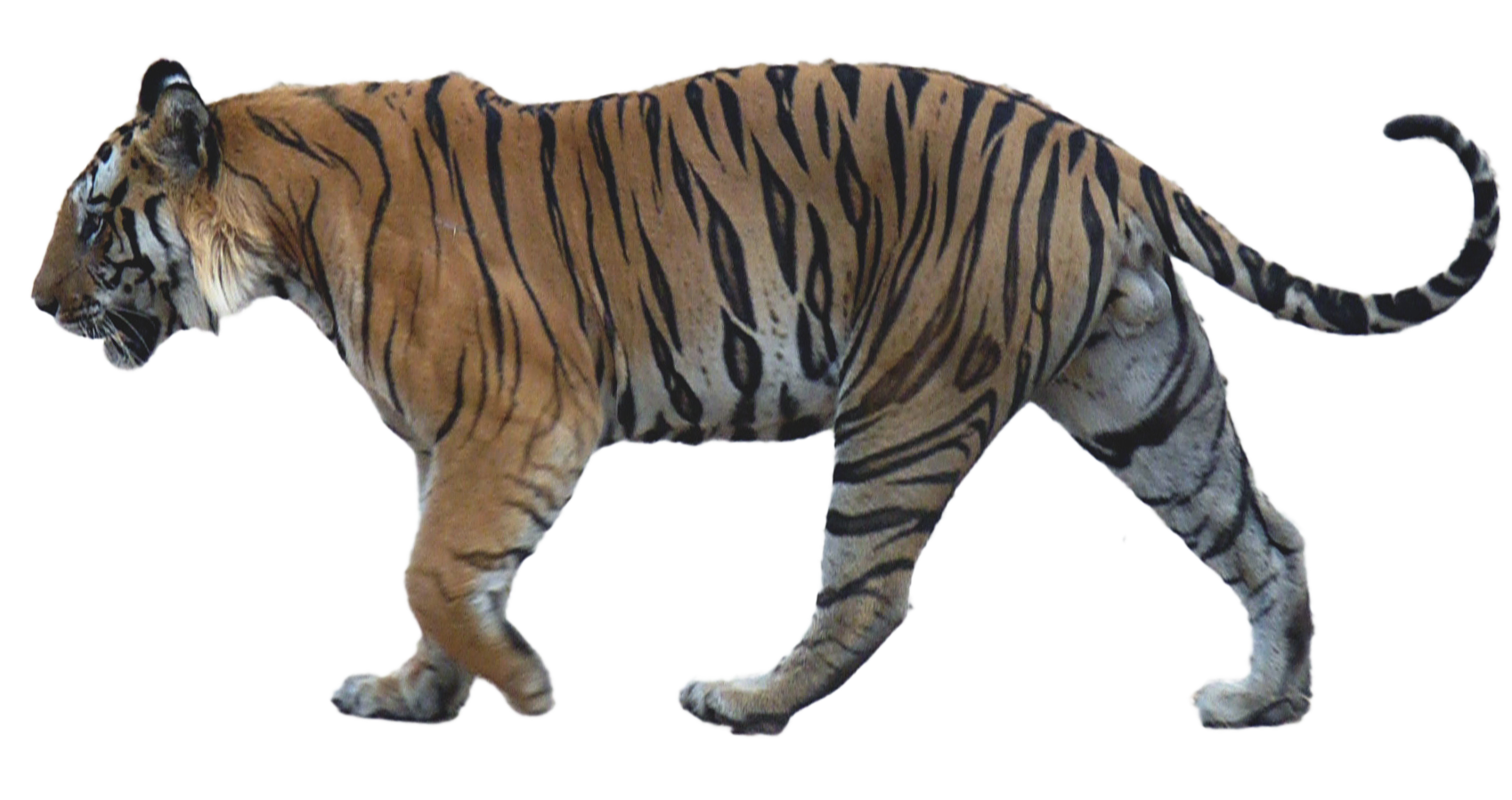 Drawing tigers full body. Tiger zpsca d ca