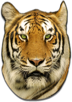 Stripes transparent white tiger. Tigers jaws and teeth