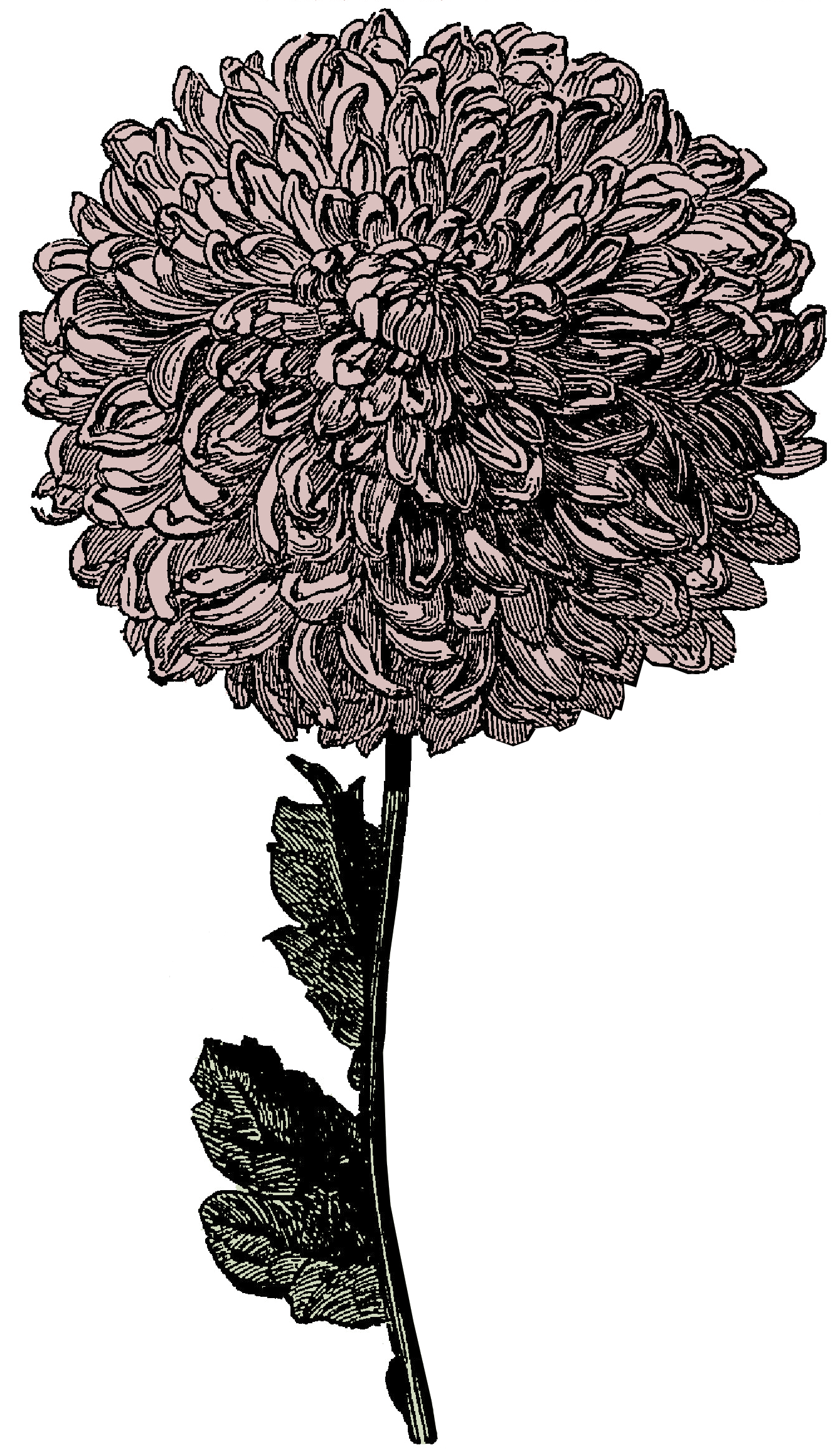 In this free victorian. Etching drawing chrysanthemum clip art library stock