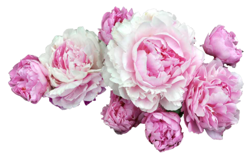 Drawing transparent peony. Flowers free png paeonia