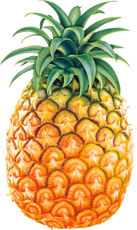 Drawing vegetable group. Pinapple fruit pineapple clip
