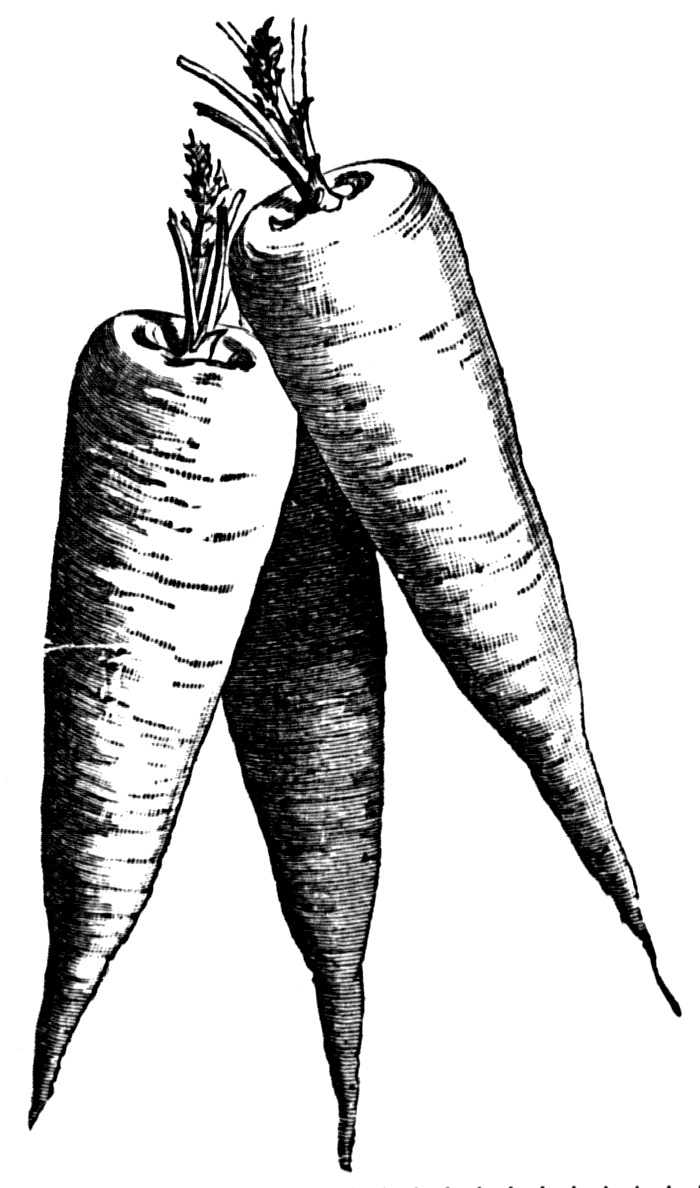 Drawing vegetable group. Carrot transparent for