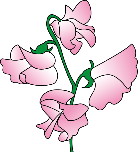 Peas drawing pea plant. Sweet flower clipart clip