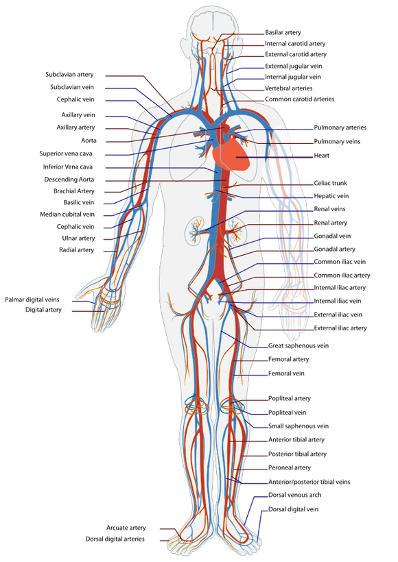Drawing veins median cubital. If i can help