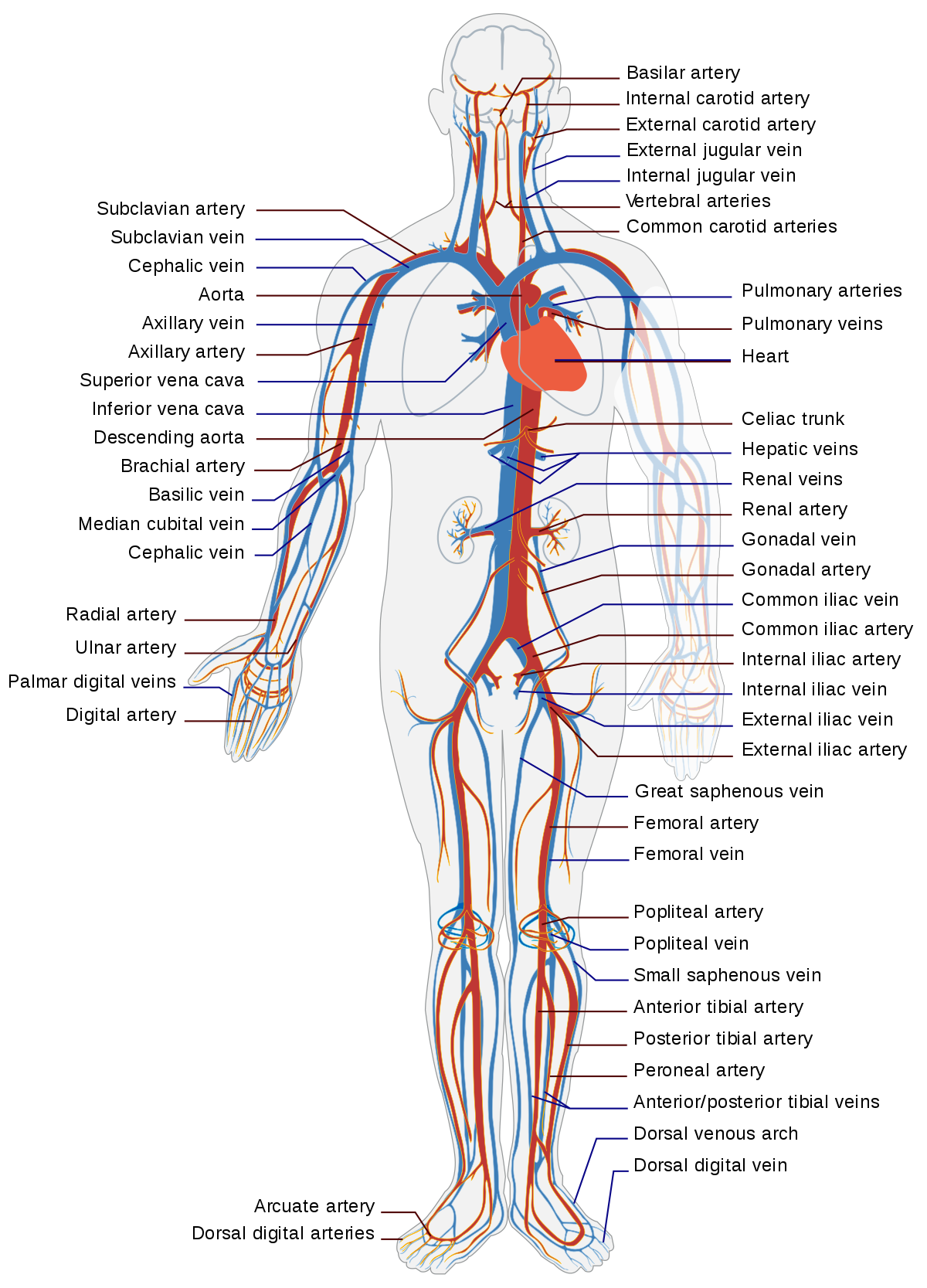 Drawing veins structure. Circulatory system wikipediam org