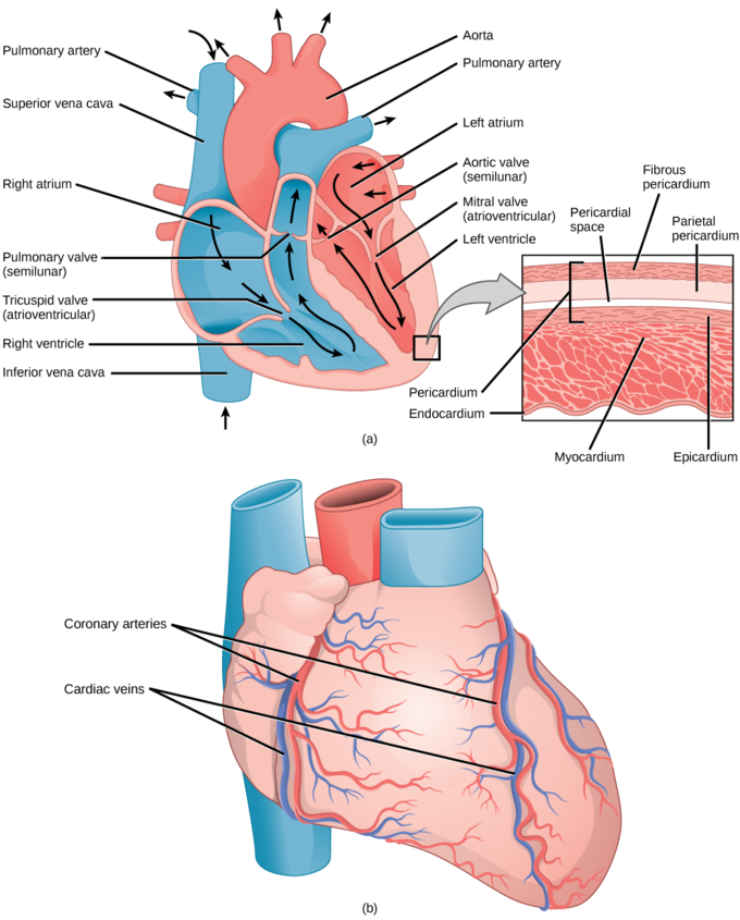 Drawing veins structure. Mammalian heart and blood