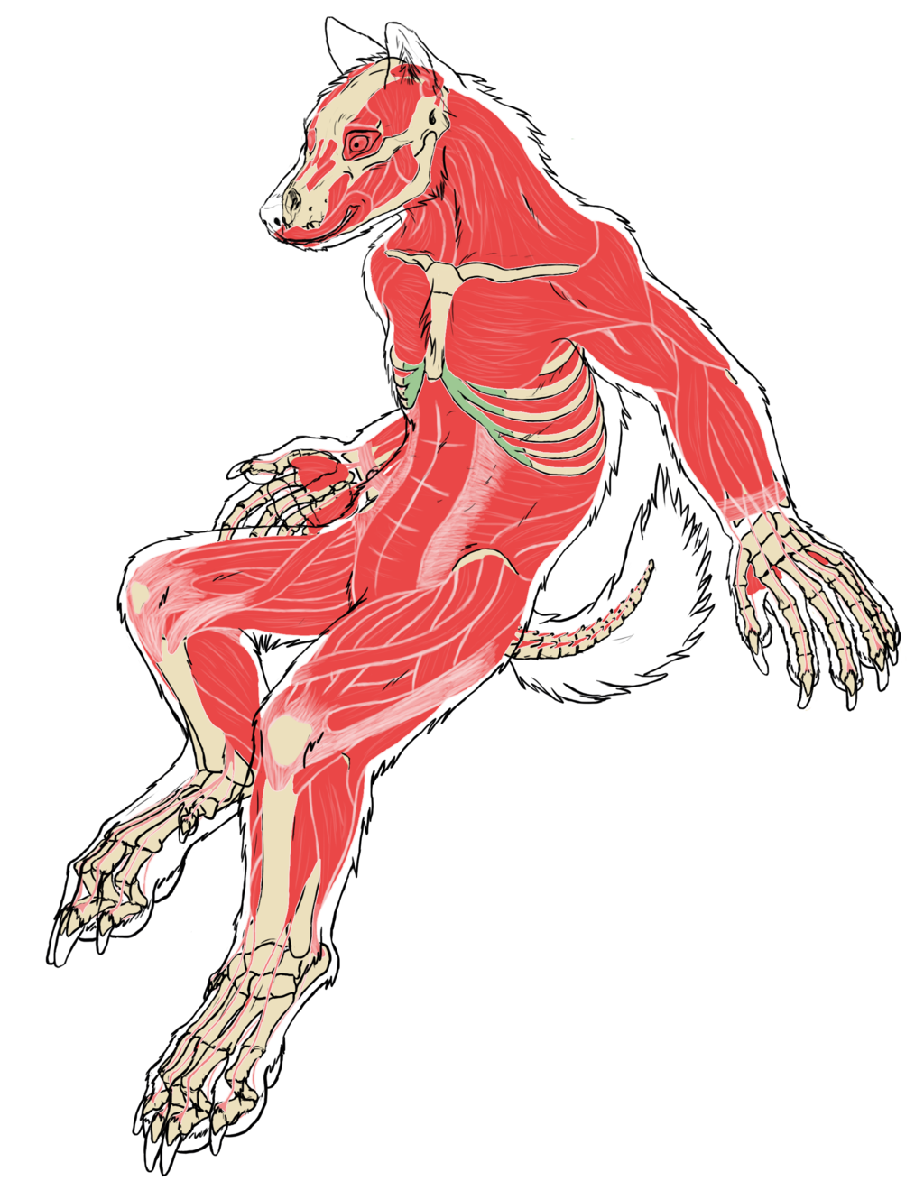 Drawing werewolf muscle. Wolf muscular system pesquisa