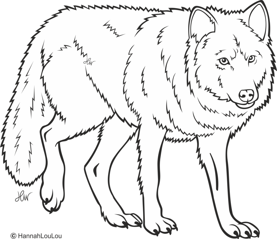 Drawing wolfs line. Of a wolf at