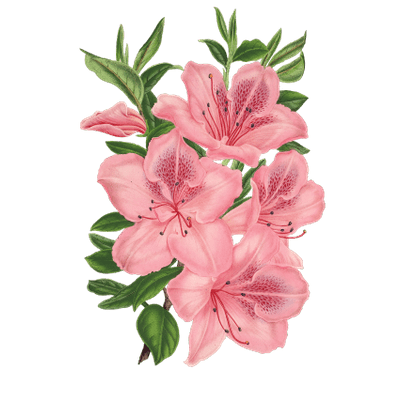 Drawn flowers png. Pink drawing at getdrawings