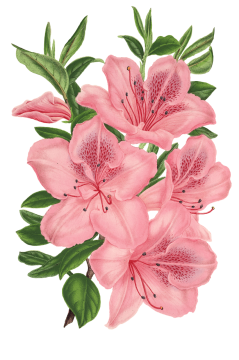 Flower hd pink rose. Drawn flowers png vector stock