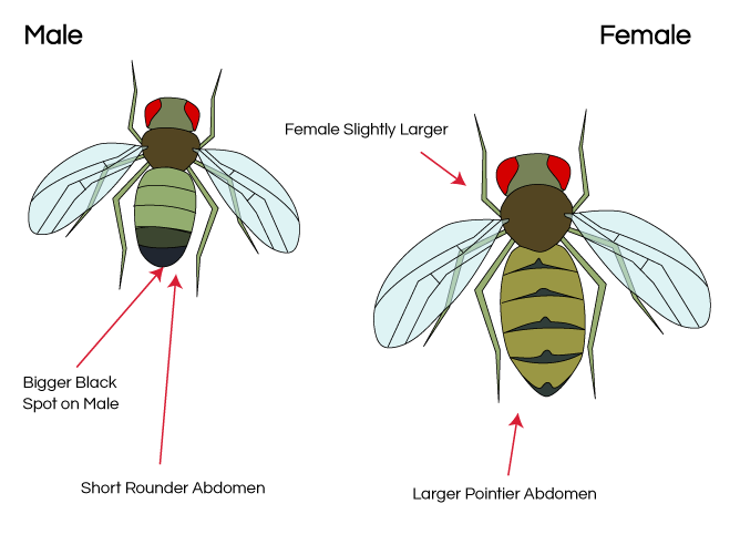 Just some smart bio. Function drawing drosophila clip library stock