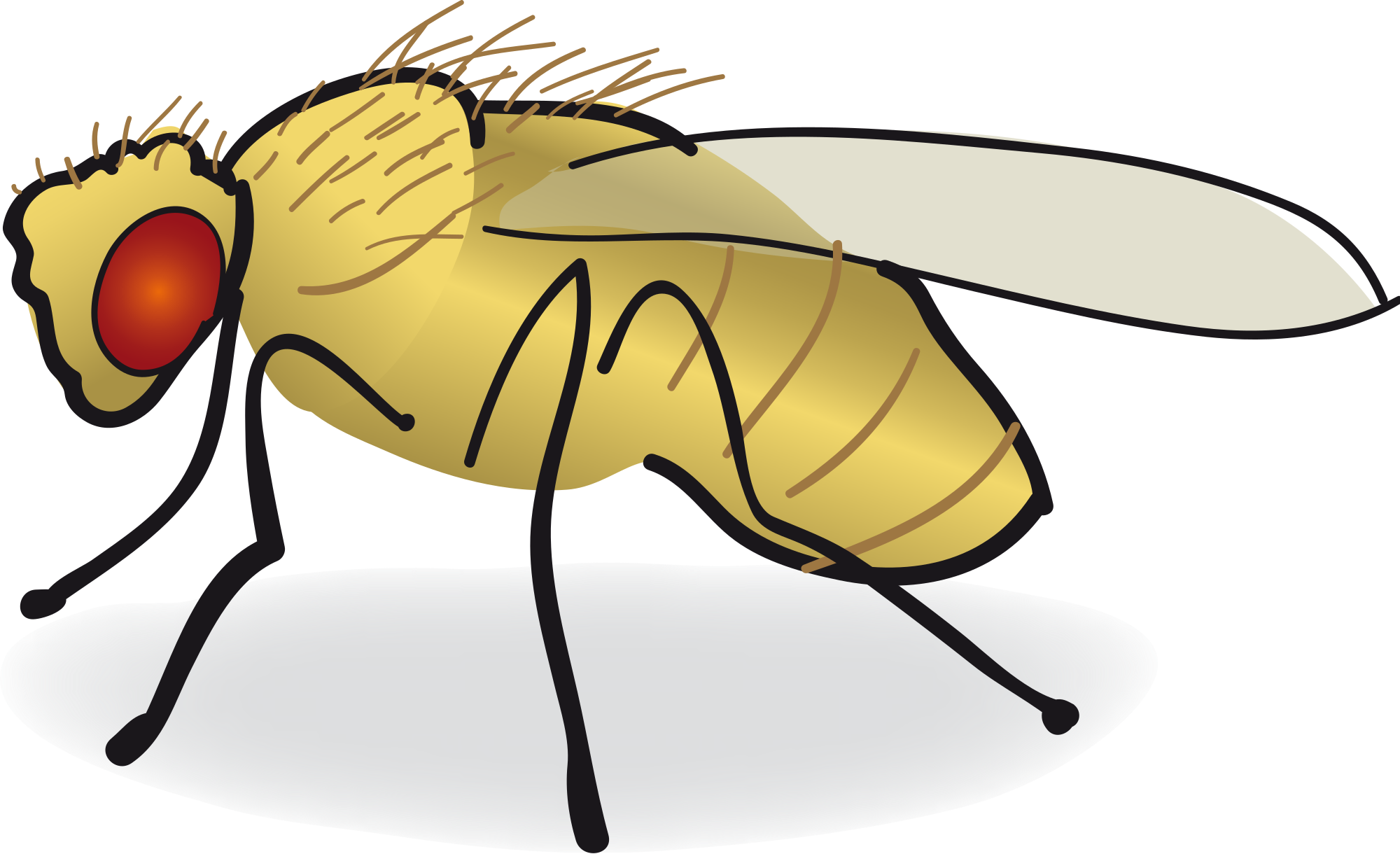 drosophila drawing insect