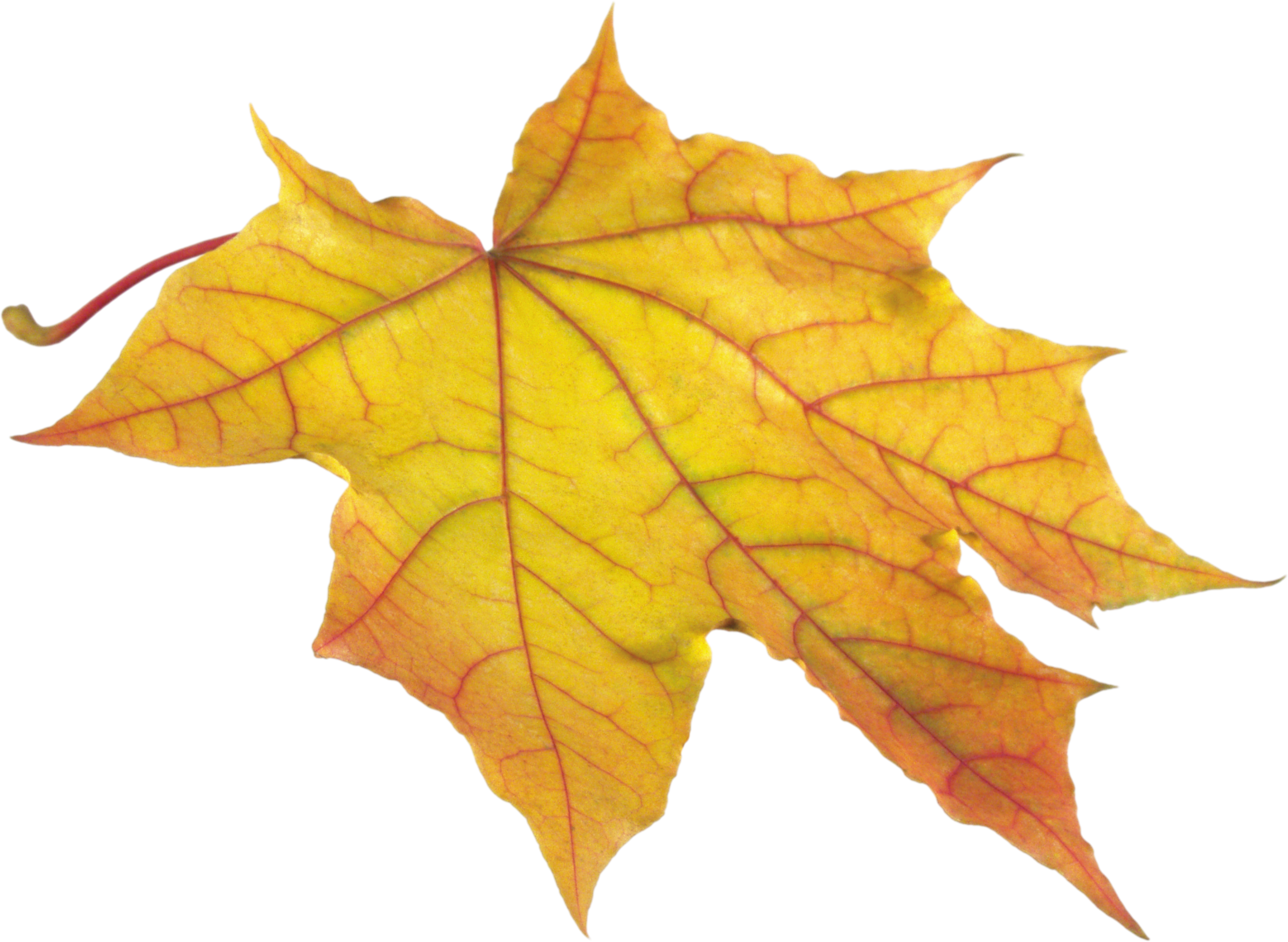 Dry leaves png. Autumn leaf fourteen isolated
