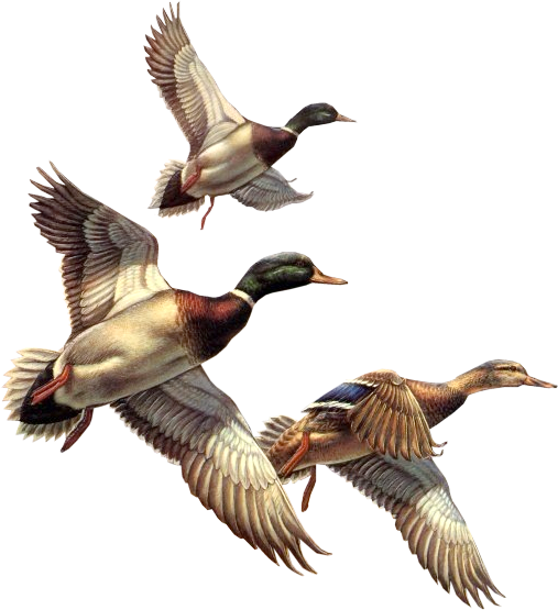 Duck clipart in flight. Free images of ducks