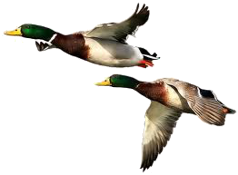 Duck hunt duck png. Hunting hd transparent images