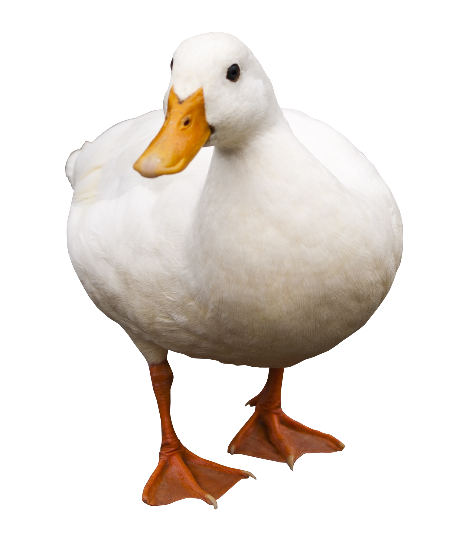 Duck .png. Transparent images png arts