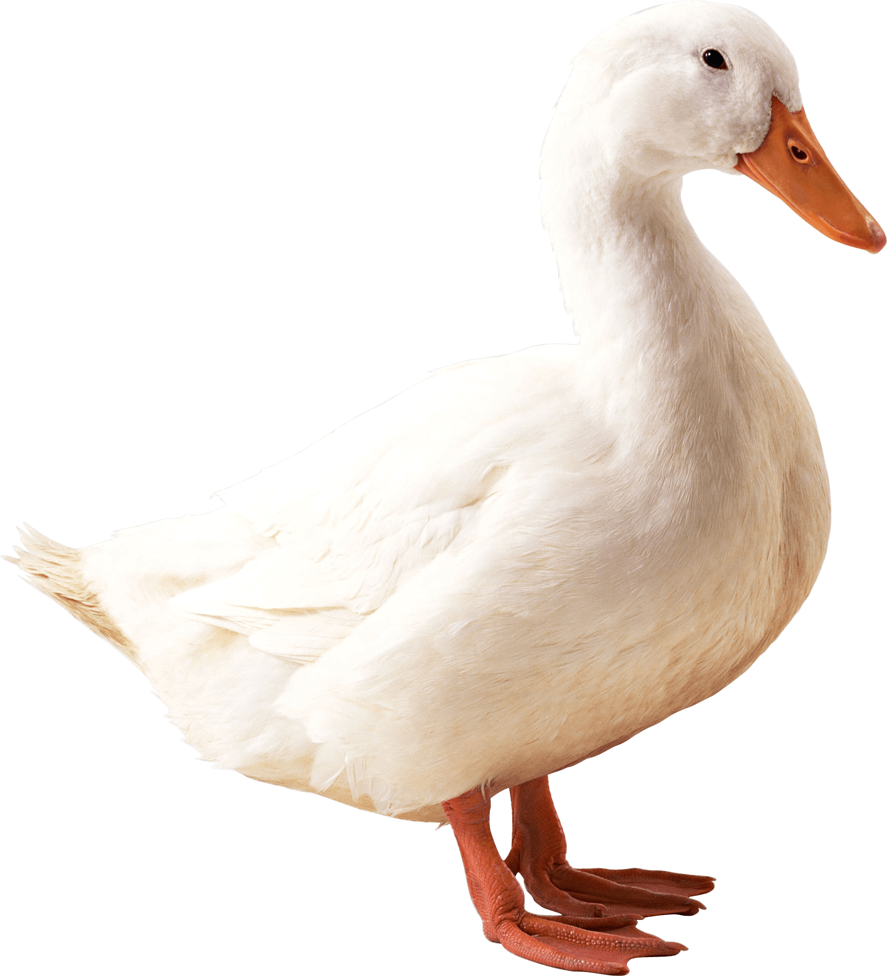 Duck png. Images transparent free download
