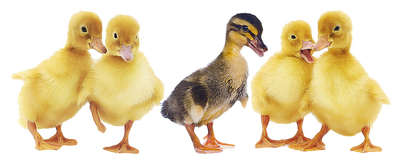 Duckling clipart baby duck. Ducks in a row
