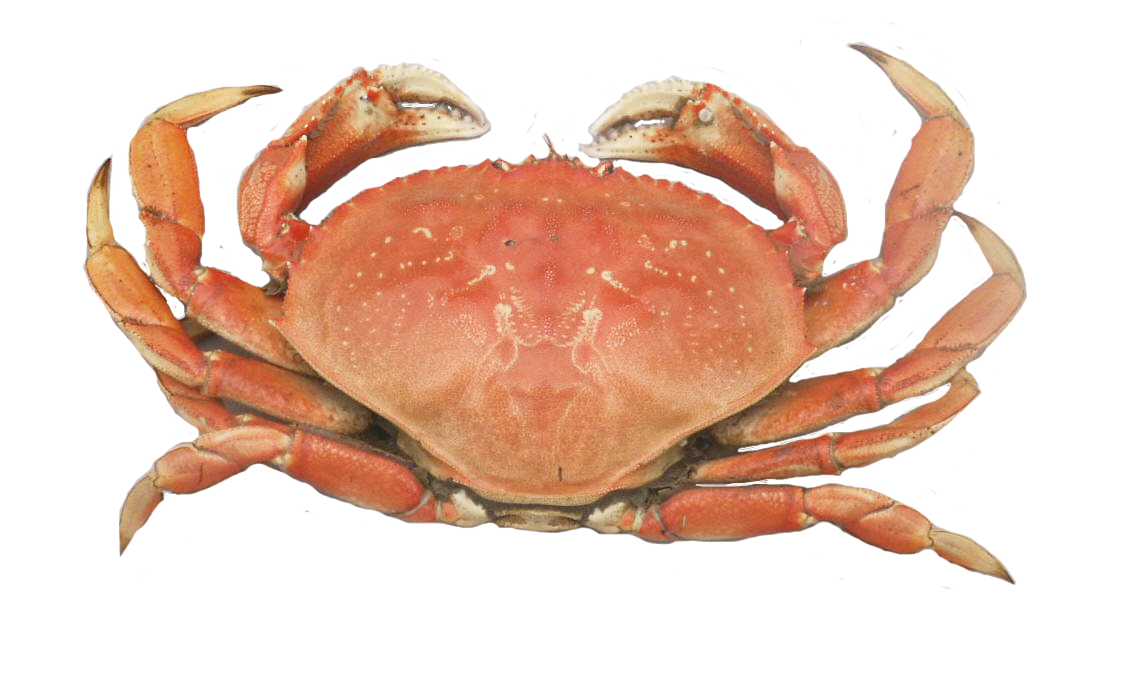 Dungeness crab png.