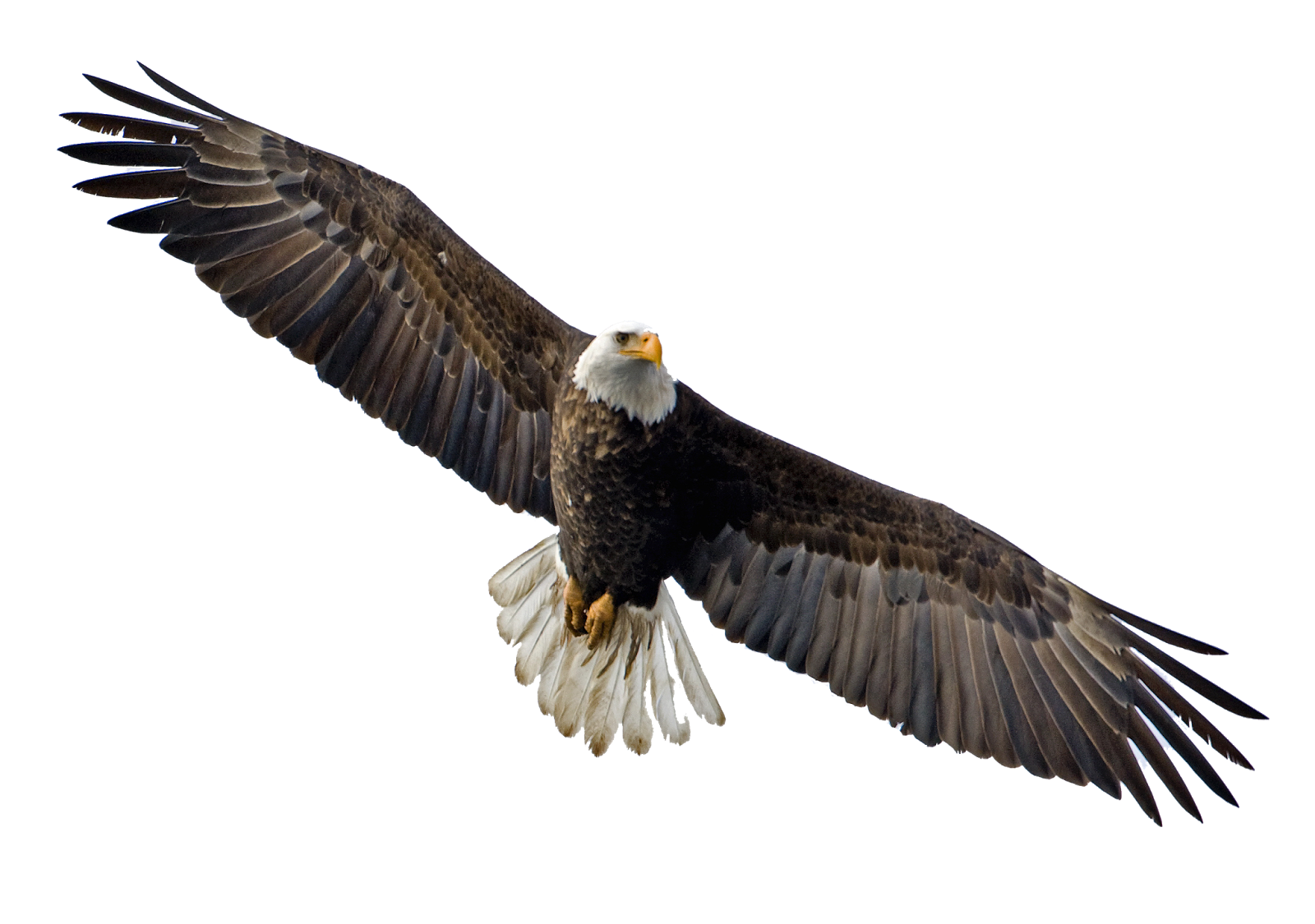 Eagle png. Hq transparent images pluspng