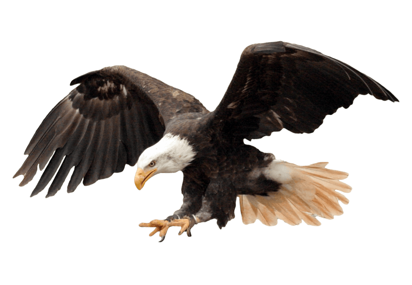 Bald free images toppng. Eagle png clip black and white stock