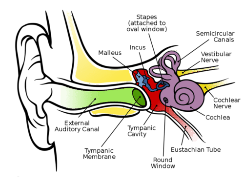 Drawing science ear. Hearing and balance read