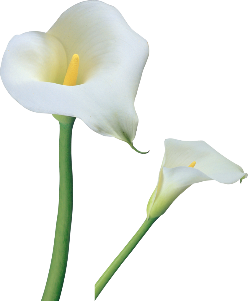 Easter lily clipart png. Transparent calla lilies flowers
